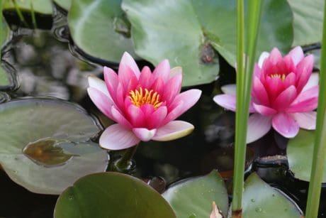 aquatic plant, colorful, exotic, nature, leaf, flora, flower, lotus