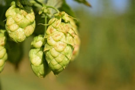 agriculture, plant, leaf, hops, nature, green leaf, outdoor