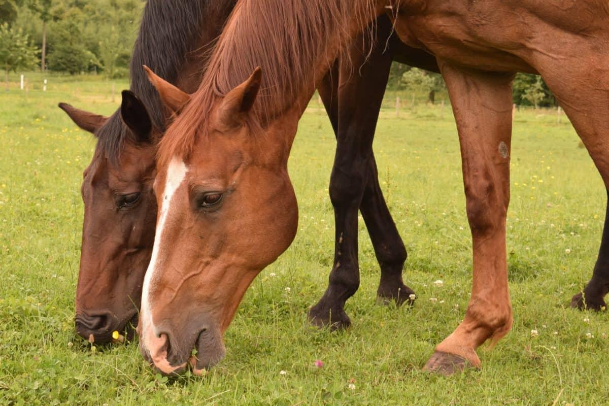 jument animaux, cheval, cavalerie, herbe