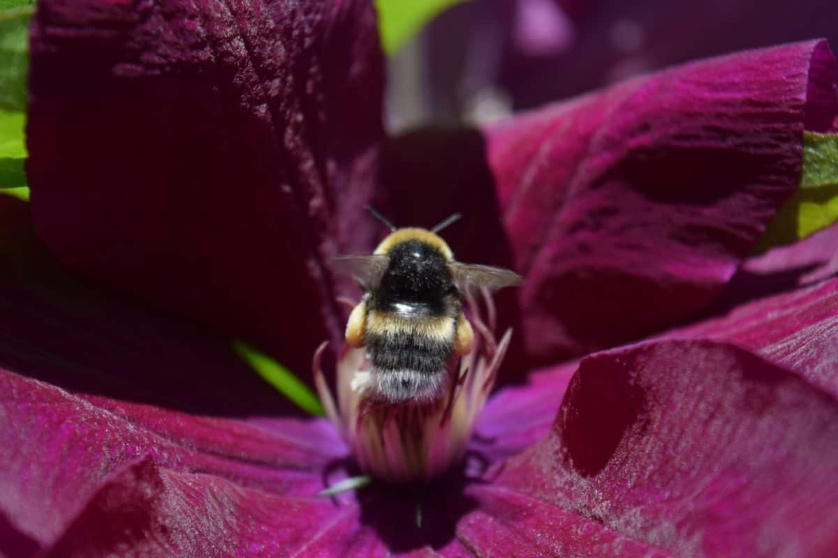 flora, insect, bumblebee, summer, garden, flower, nature, bee