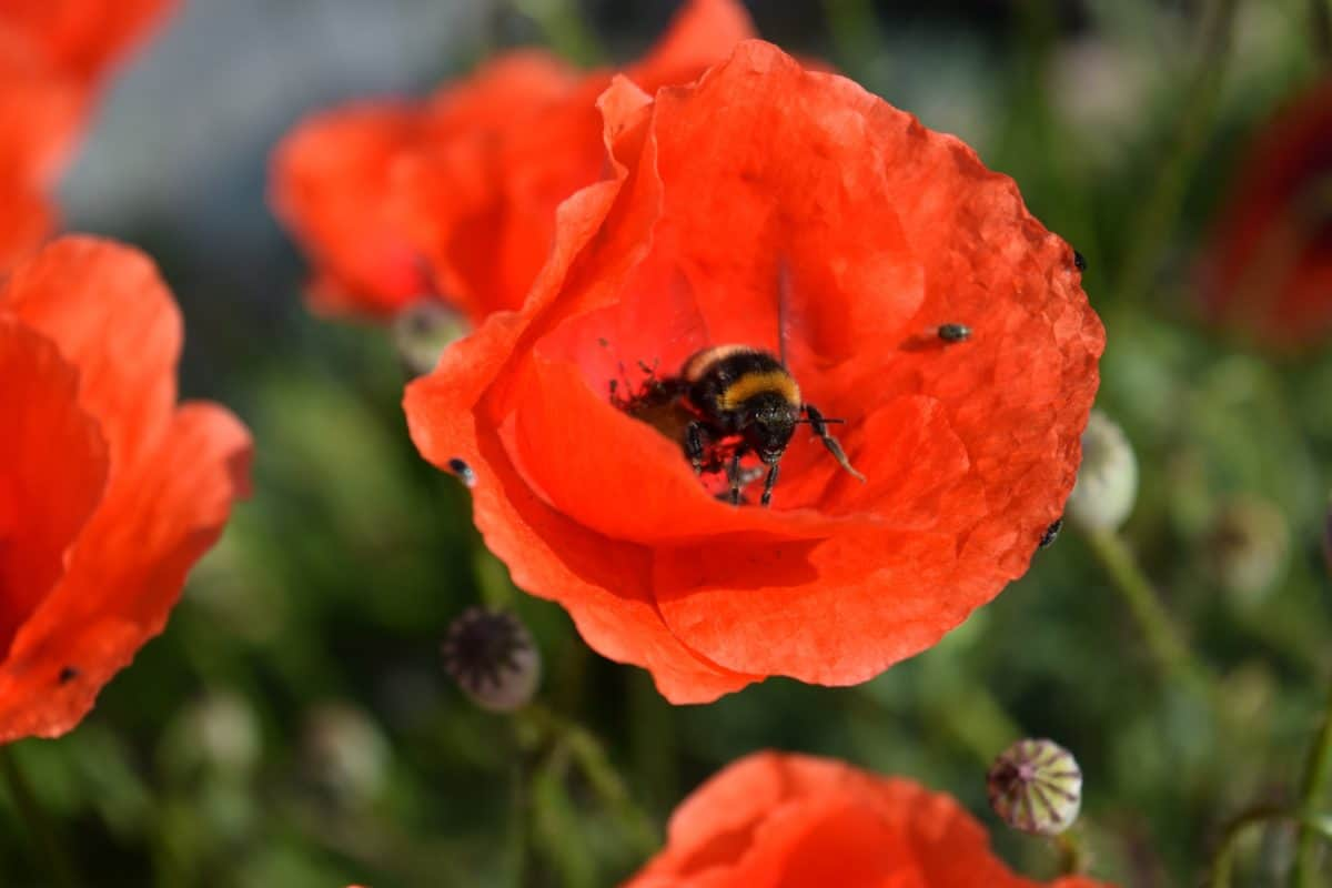 poppy, insect, summer, nature, bumblebee, flower, flora, plant, petal
