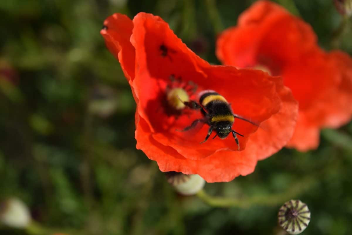 bumblebee, insect, pollen, nature, flower, summer, poppy, garden