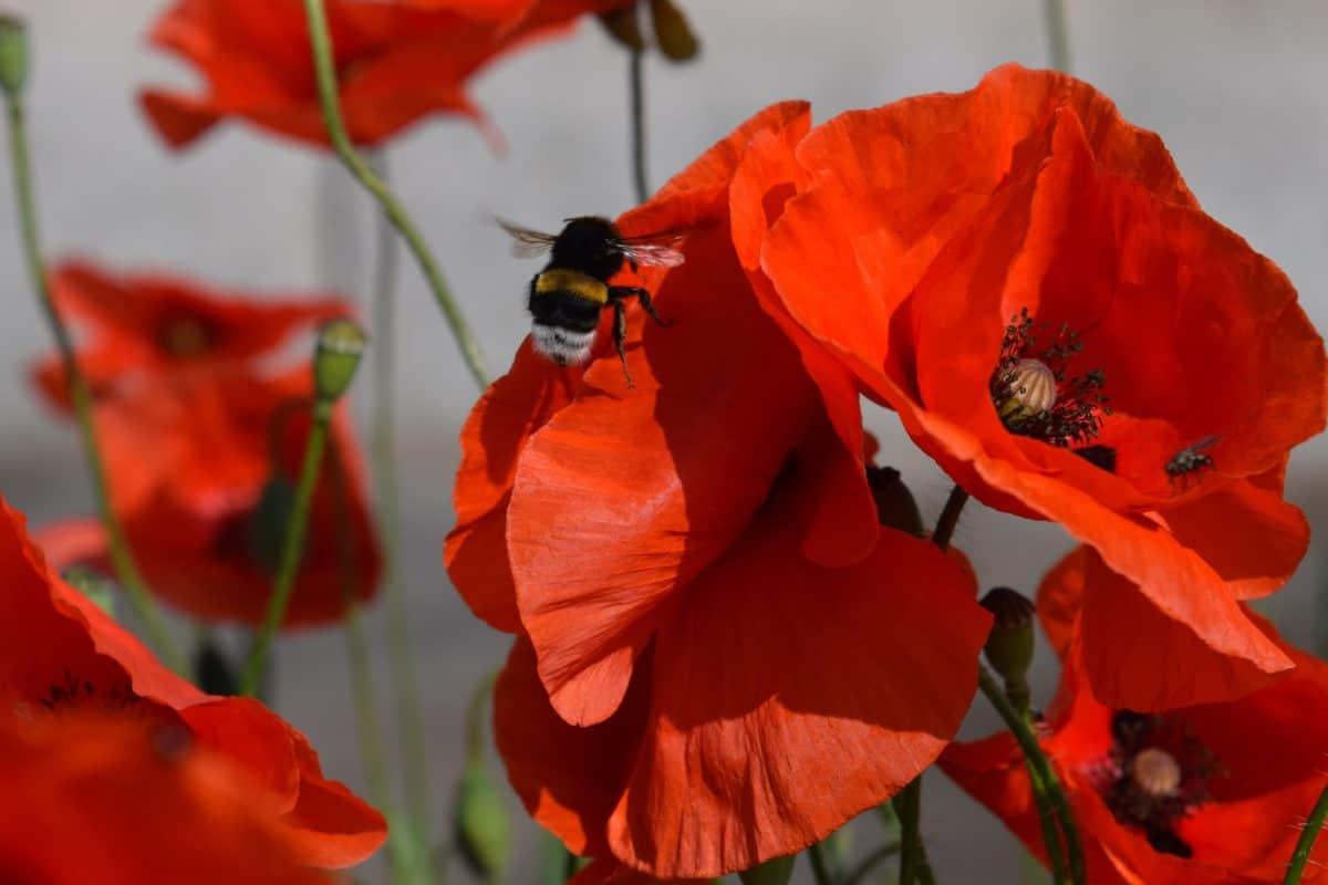 fleur, insecte, rouge coquelicot, nature, Capucine, plante, herbe, rouge
