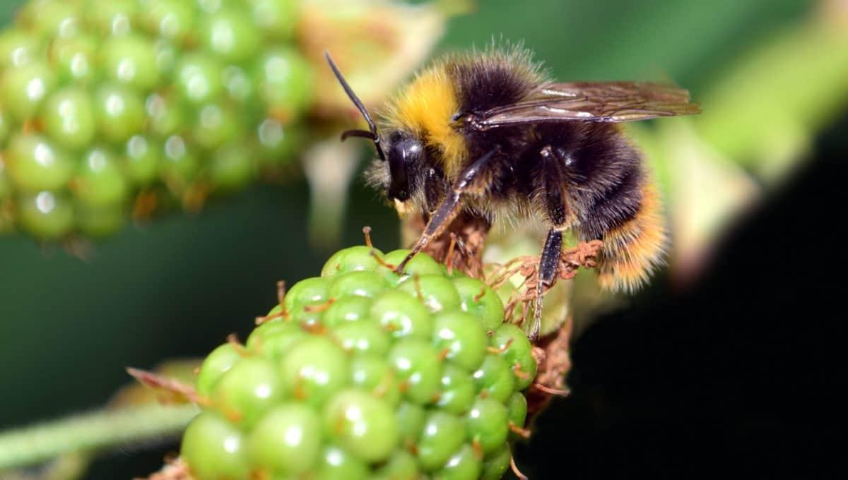 Natur, Hummel, Makro, Detail, Insekt, Blume, Pflanze