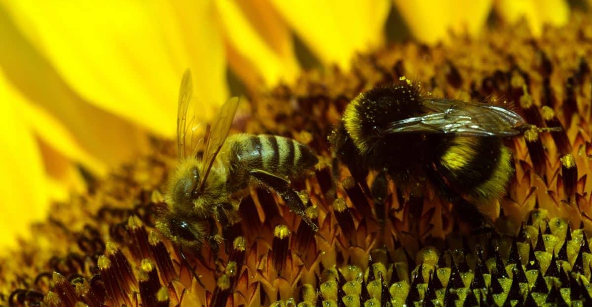 abejorro, macro, polen, flor, insecto, naturaleza, polinización