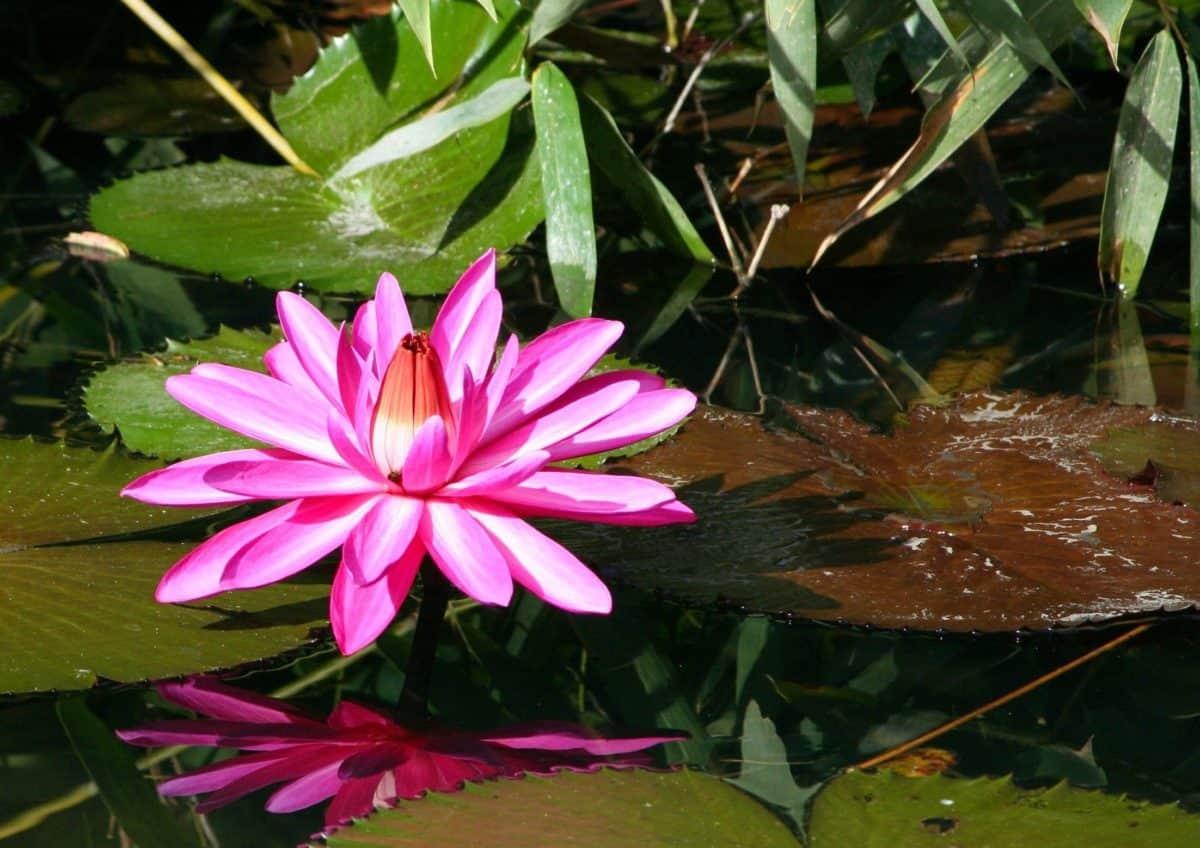 Crveni cvijet, prirode, flore, zeleni list, vrt, biljke, roza, Hortikultura, cvijet
