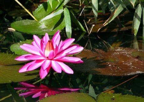 fleur rouge, nature, flore, feuille verte, jardin, plante, rose, horticulture, fleur