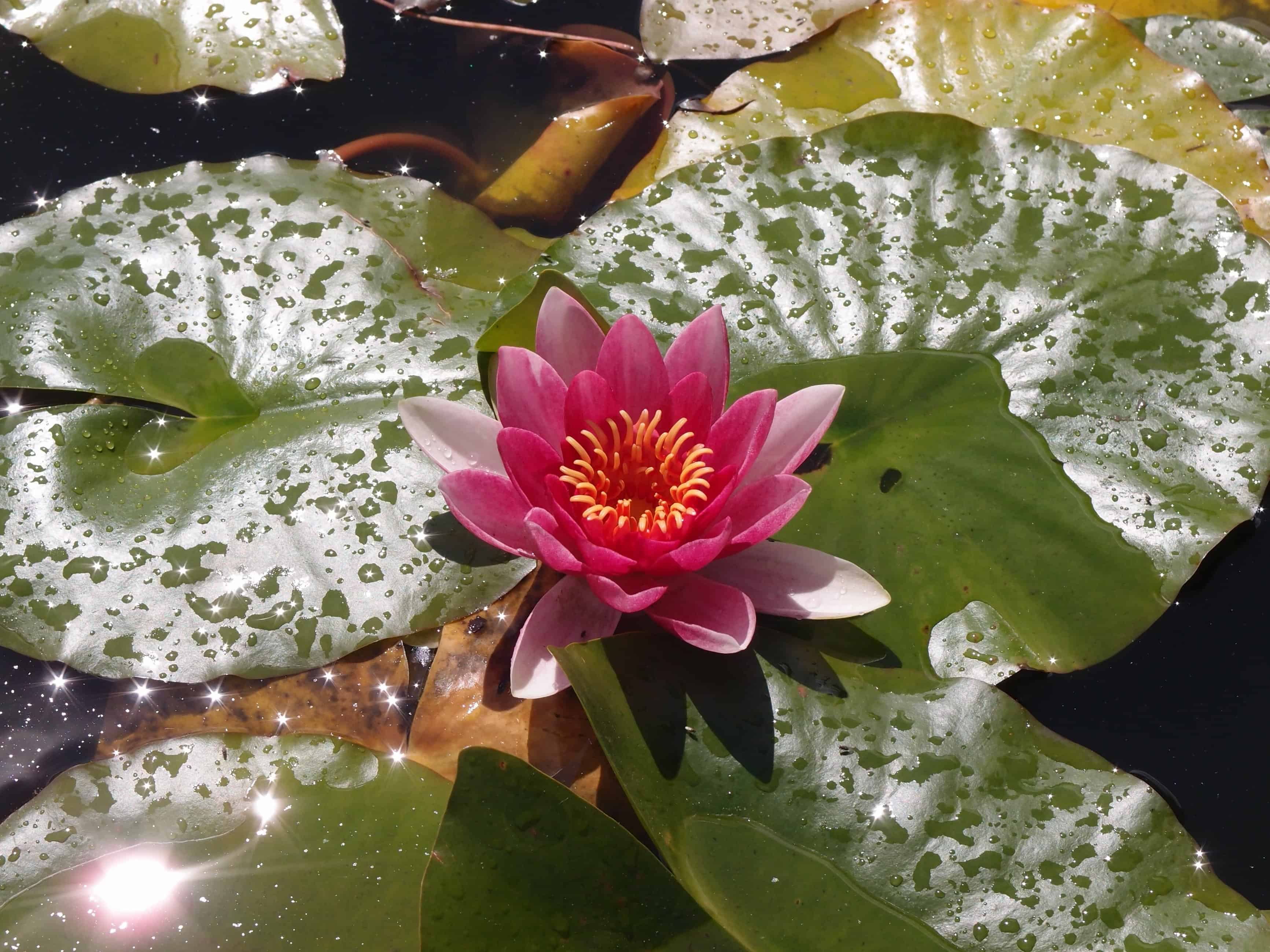 Free Picture Nature Beautiful Meditation Leaf Horticulture Flower Lotus Aquatic Plant