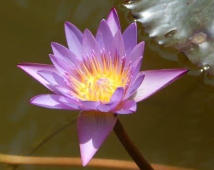 blomst, åkande, akvatiske, blad, lotus, eksotiske, flora