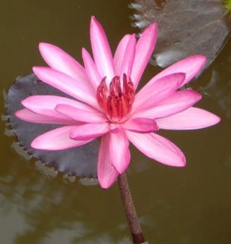 Lotus, flora, acvatice, waterlily, natura, frunze, flori