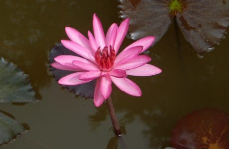 flower, flora, leaf, lotus, red waterlily, nature, petal, pink, plant