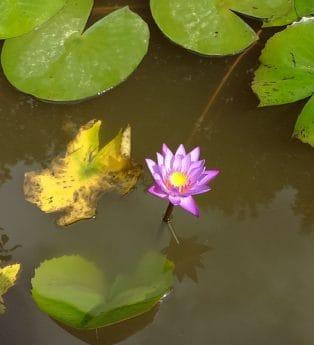 foglia, orticoltura, flora, natura, loto, acquatico, fiore, waterlily