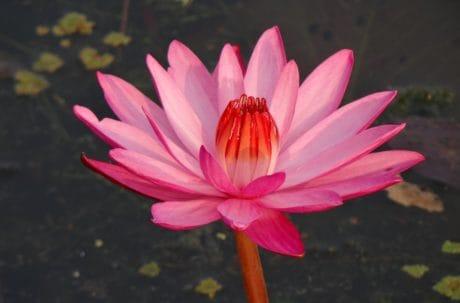 Loto rojo, naturaleza, flor roja, jardín, hoja, flora, acuático, Pétalo