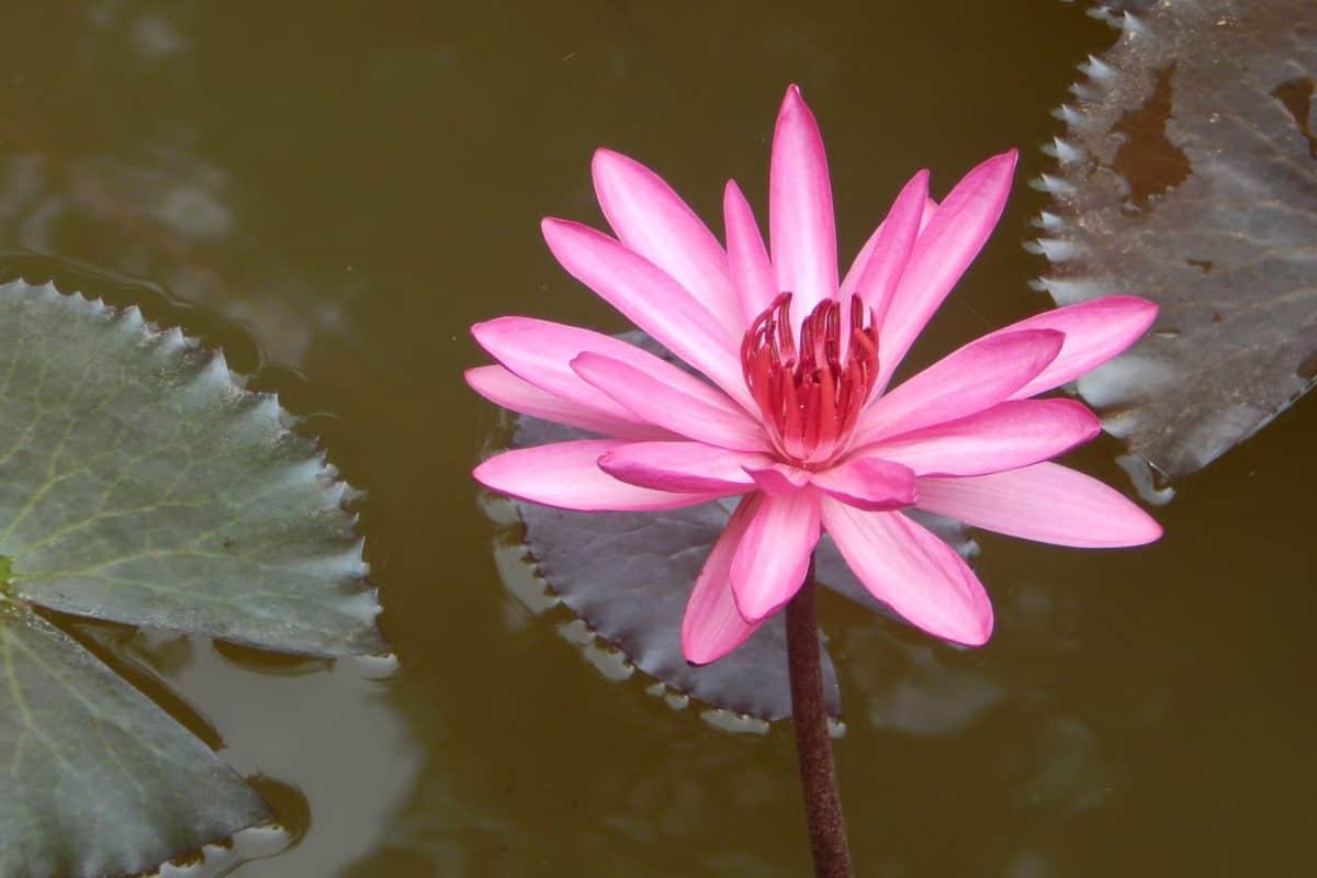 lotus, leaf, flower, red waterlily, nature, flora, petal, pink, blossom