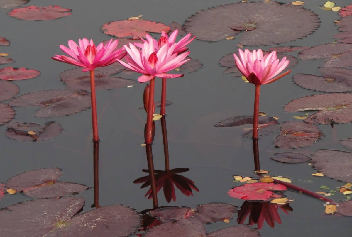 nature, lotus, flower, horticulture, petal, plant, ecology, daylight