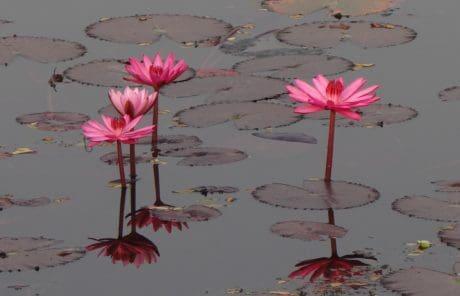 flor roja, verano, hojas, naturaleza, Pétalo, loto, horticultura, acuático