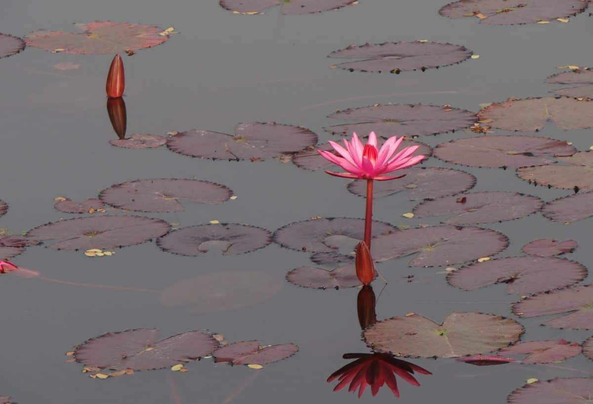 eau, lotus, horticulture, plantes aquatiques, plein air
