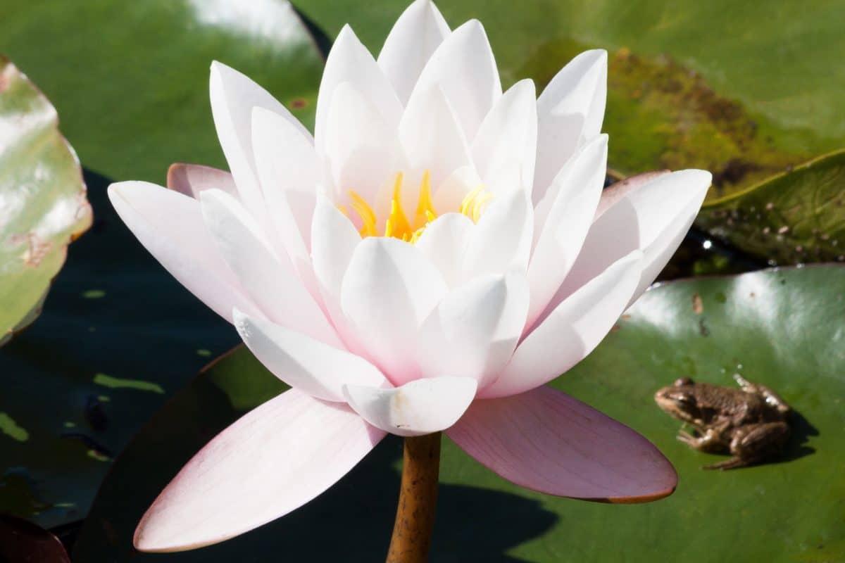 horticulture, aquatique, nénuphar, nature, lotus blanc, feuille, fleur, exotique