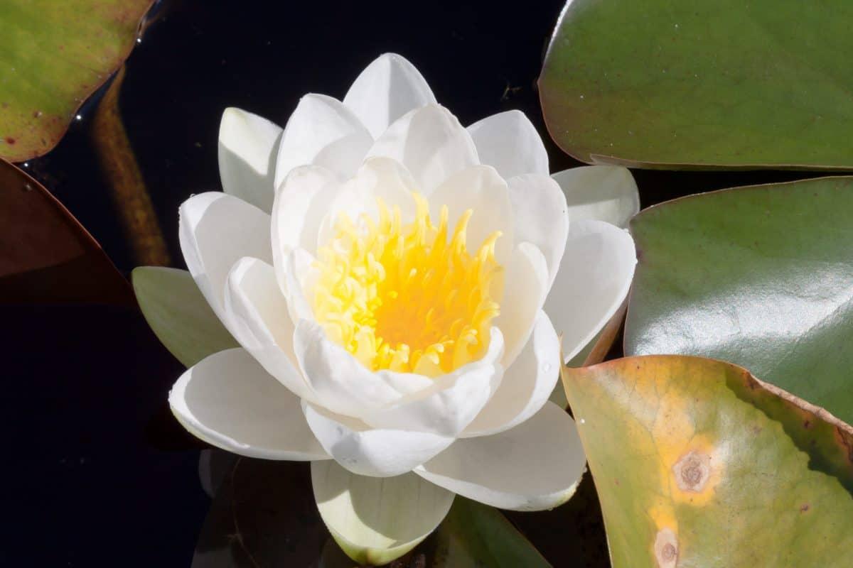 hoja, exóticas, flora, loto blanco, flor, acuática, planta, flor