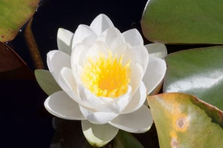 leaf, exotic, flora, white lotus, flower, aquatic, plant, blossom