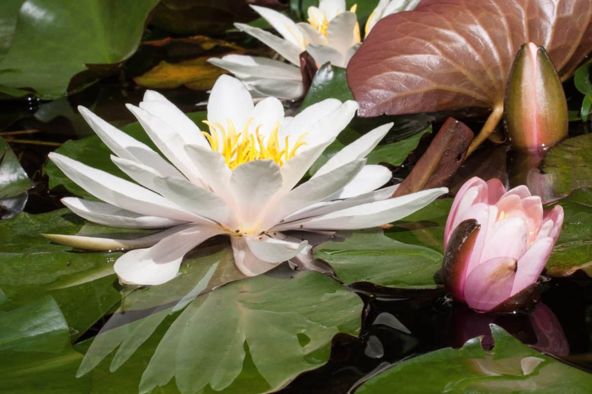 orticoltura, loto, foglia, flora, fiore, natura, acquatico, pianta