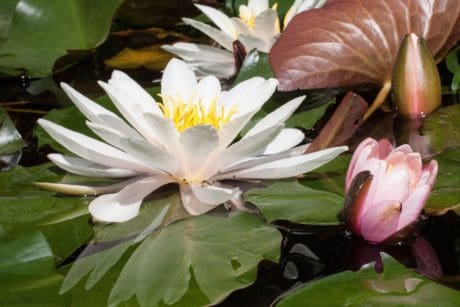 horticulture, lotus, leaf, flora, flower, nature, aquatic, plant