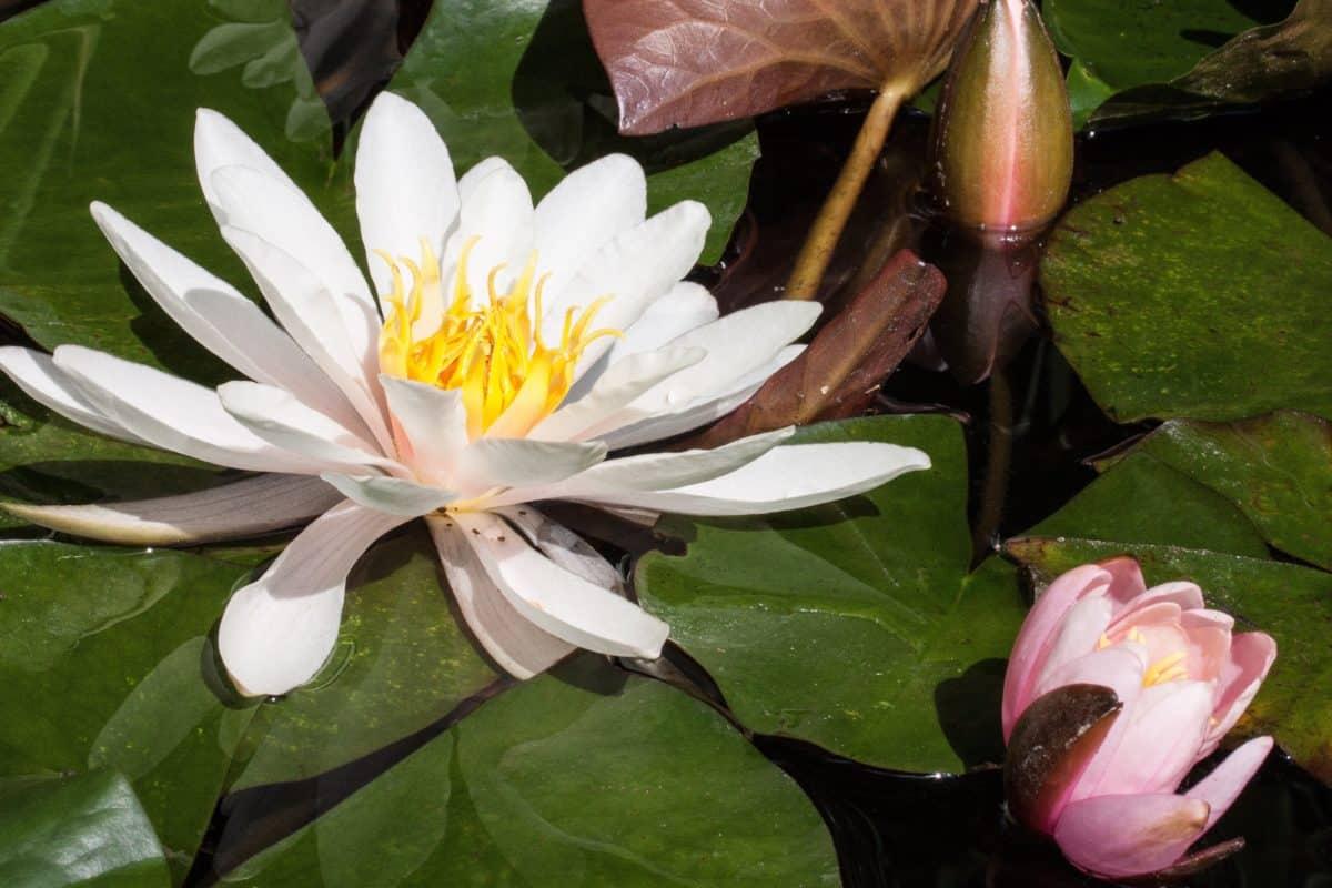 Ecología, naturaleza, flores, meditación, loto, nenúfar, hojas
