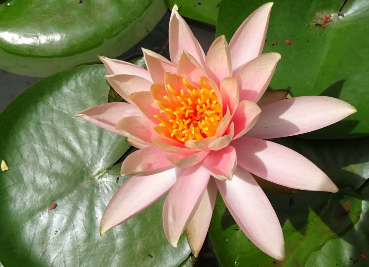 flower, exotic, leaf, flora, lotus, ecology, plant, aquatic