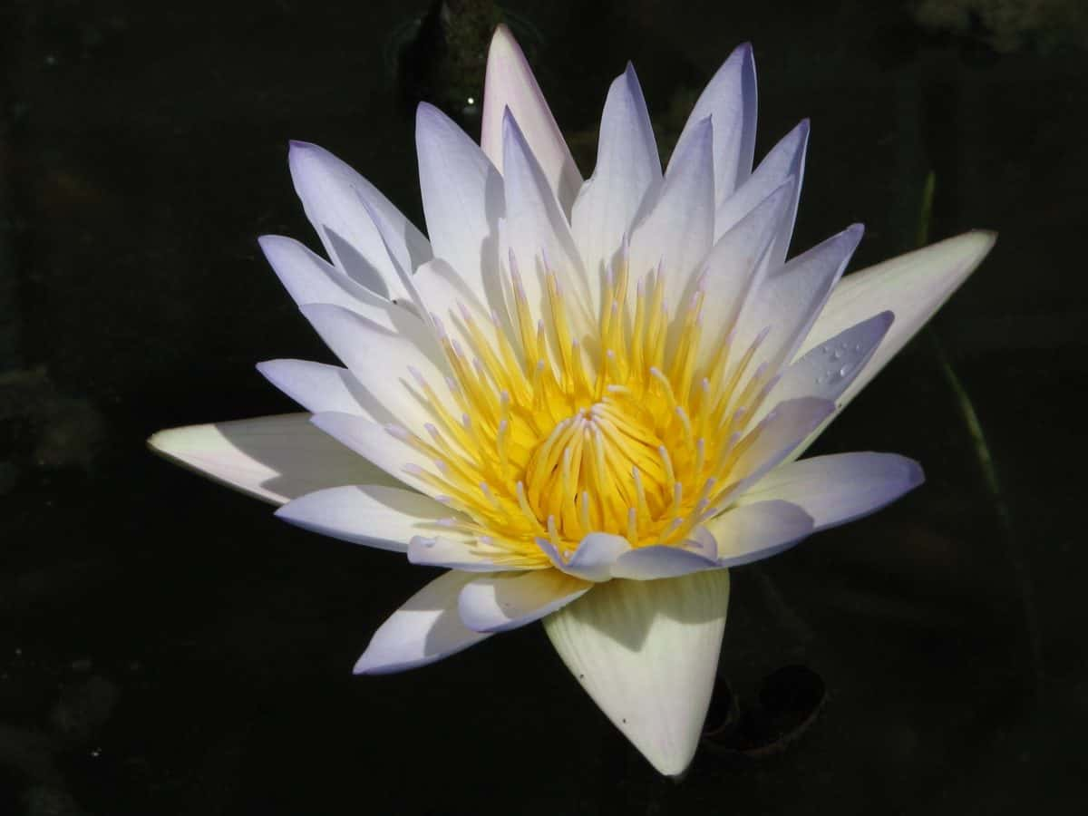 horticulture, aquatic, flora, nature, flower, lotus, petal, blossom