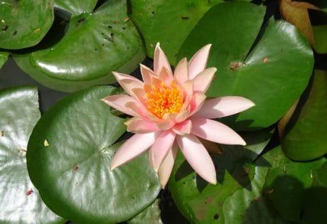 Ecologie, flore, feuille, l'été, nature, fleur, lotus, exotique