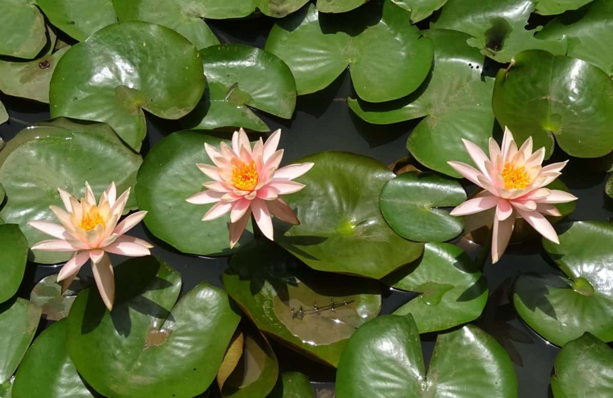 flora, exotic, nature, ecology, white lotus, flower, aquatic, leaf