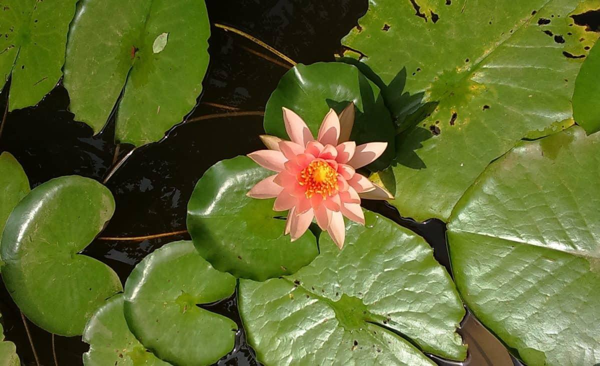 havebrug, lotus, eksotiske, flora, natur, blade, haven, blomst