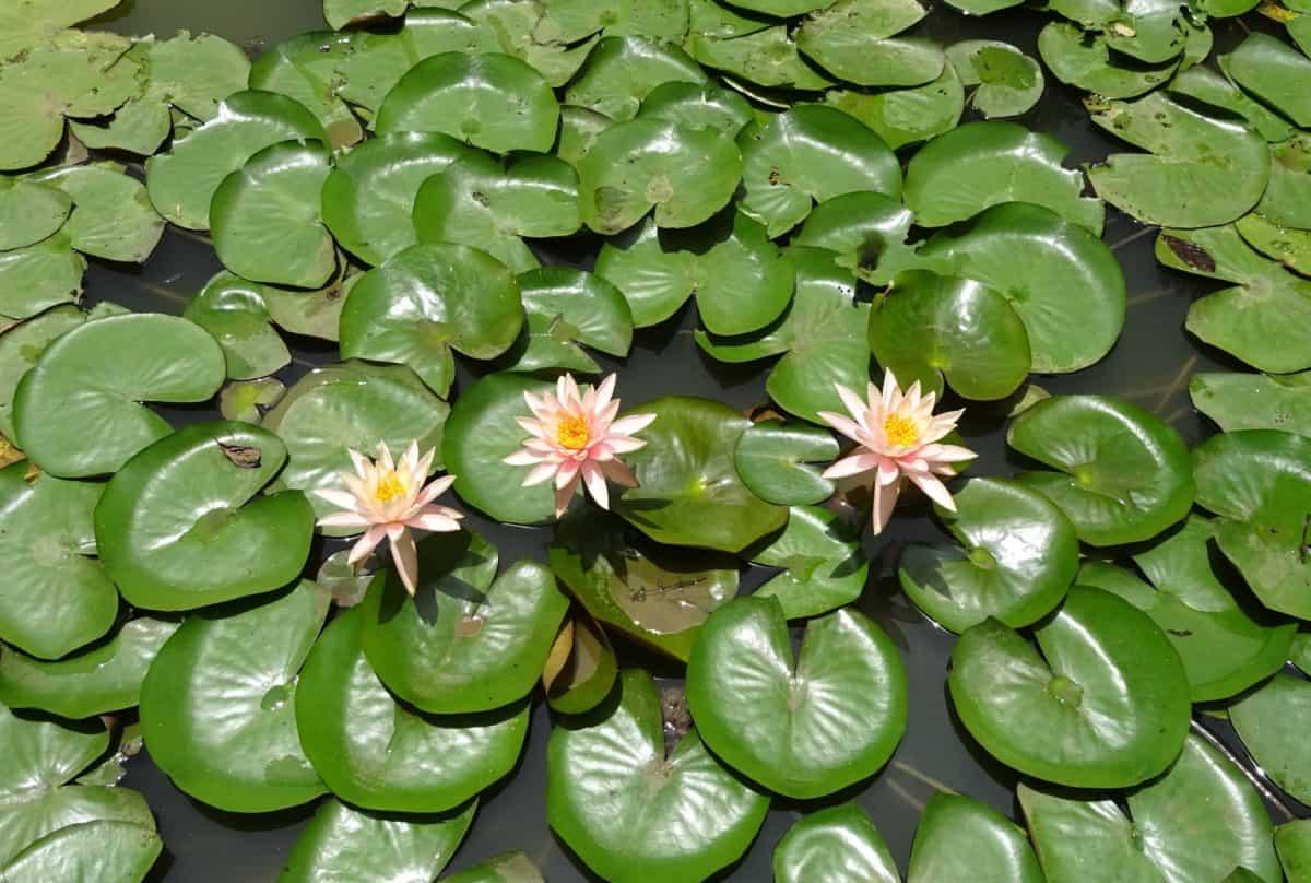 hoja verde, jardín exótico, horticultura, acuáticos, naturaleza, flora, lotus