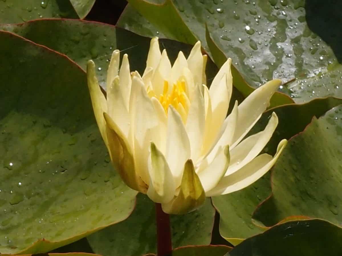 orticoltura, natura, esotico, loto, flora, fiore, foglia, acquatico