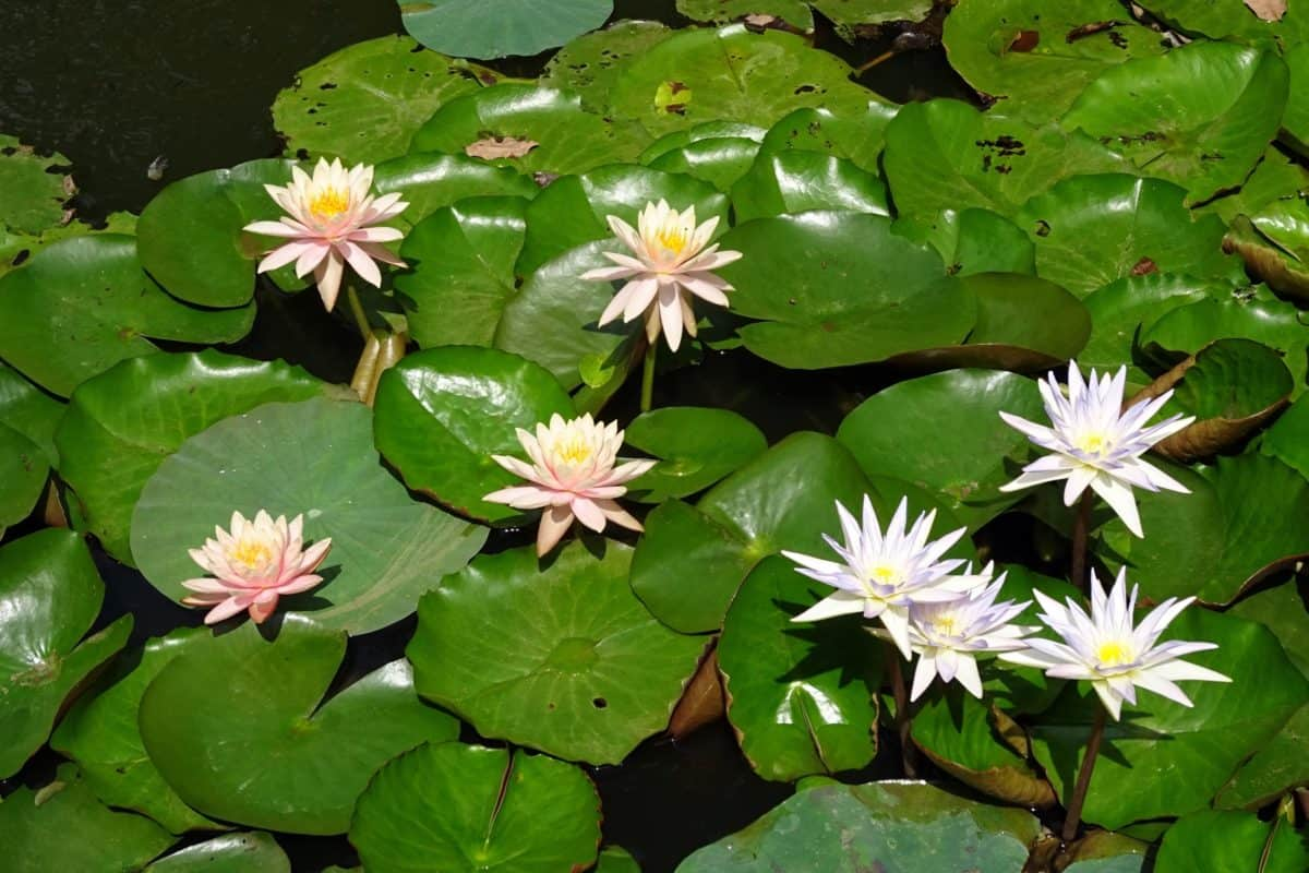 aquatic, leaf, flower, lotus, flora, nature, horticulture, garden