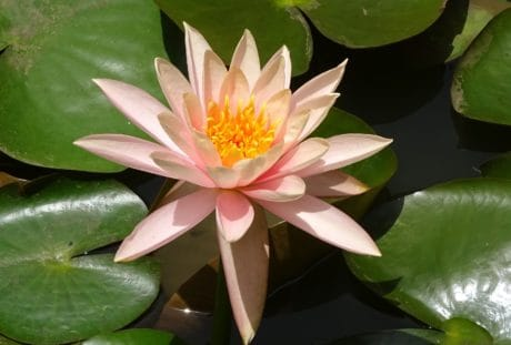 white waterlily, nature, exotic, flower, waterlily, greenleaf, flora, lotus