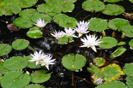 Waterlily, orticoltura, loto, flora, acquatico, foglia, fiore, natura