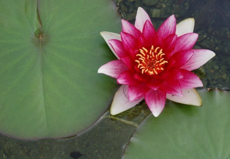 loto, foglia verde, esotico, rosso waterlily, flora, fiore, waterlily, acquatico