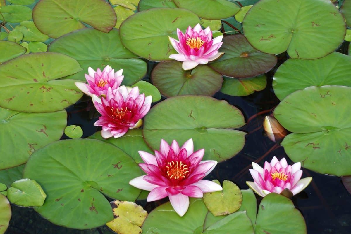 nature, lotus, aquatique, feuille, horticulture, flore, fleur, nénuphar