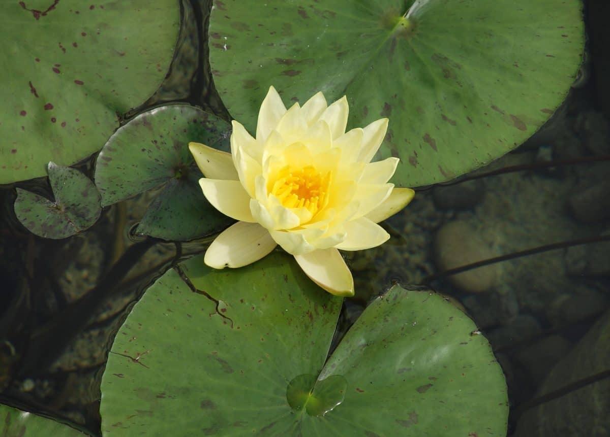 Waterlily, foglia, loto, acquatico, natura, fiore, orticoltura, flora