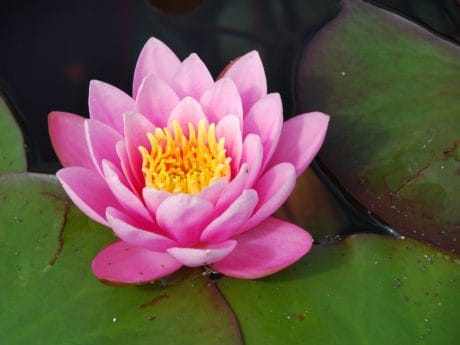 exotic, flower, leaf, flora, lotus, horticulture, aquatic, waterlily