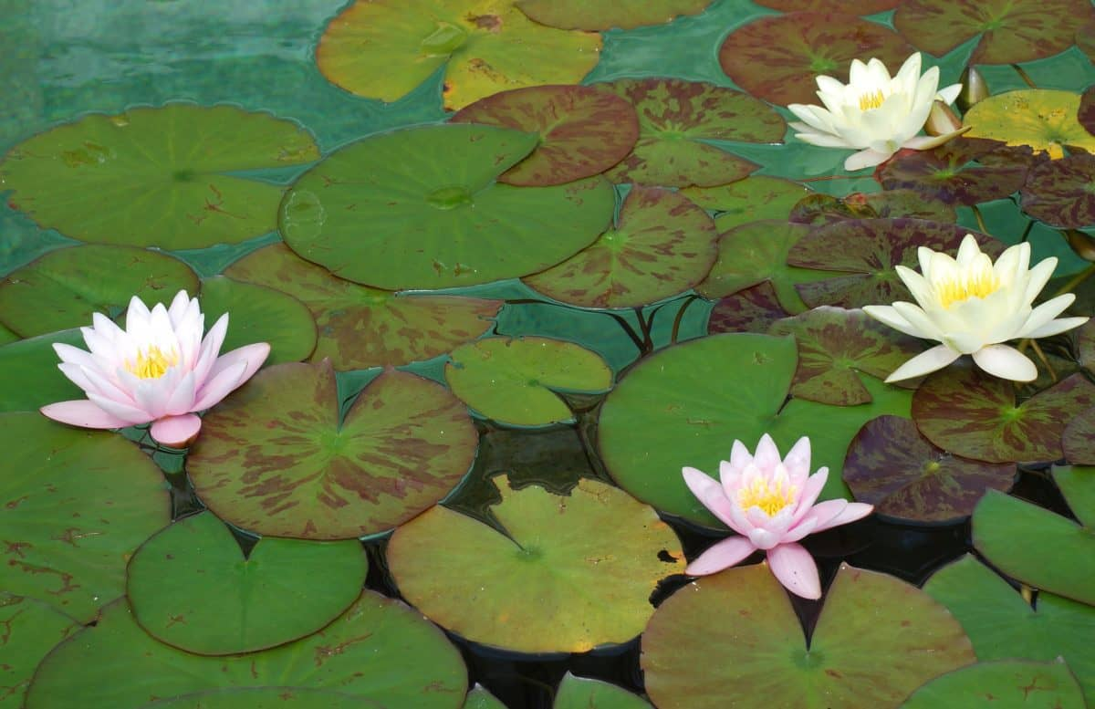 flower, lotus, waterlily, flora, aquatic, garden, leaf, horticulture