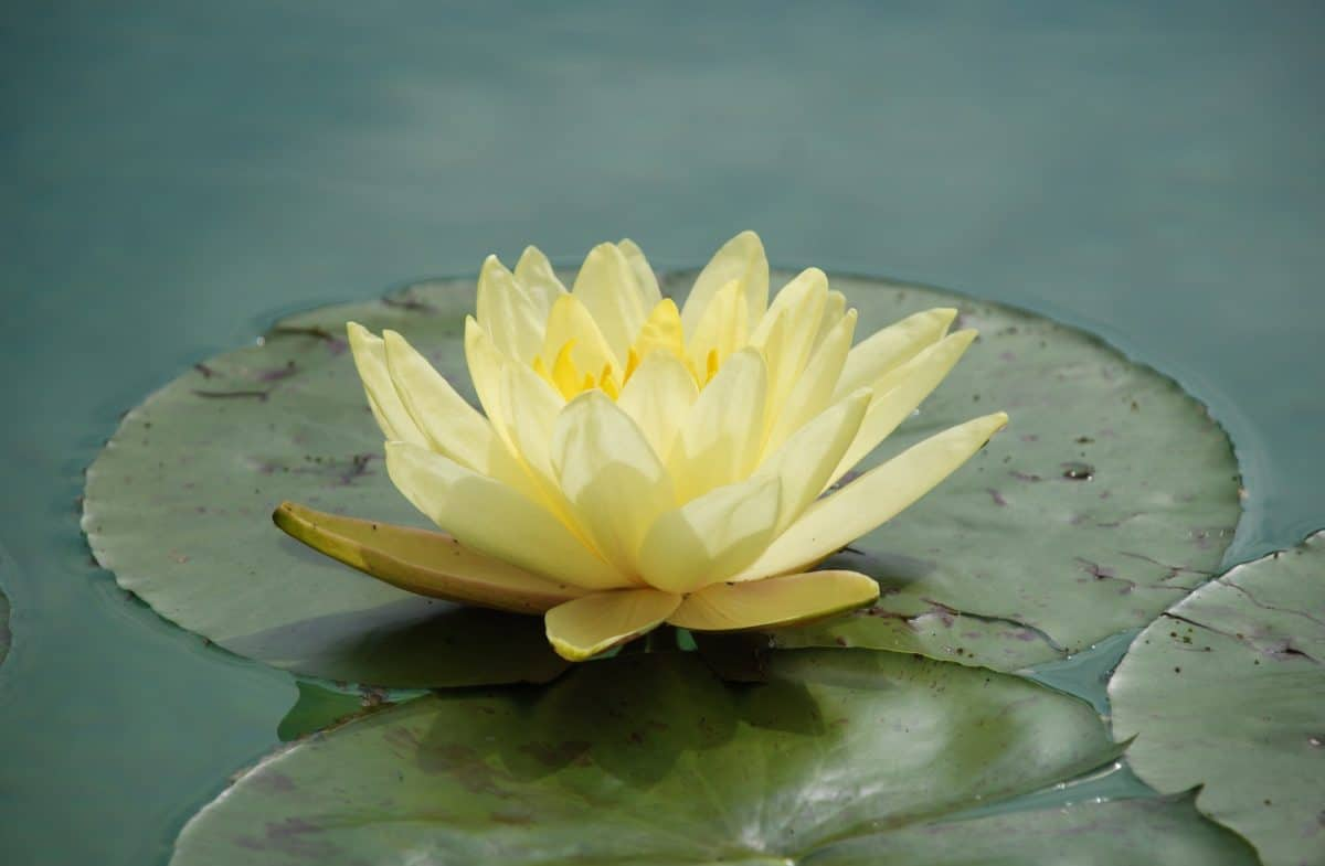 horticulture, leaf, lotus, water, flower, nature, aquatic, plant