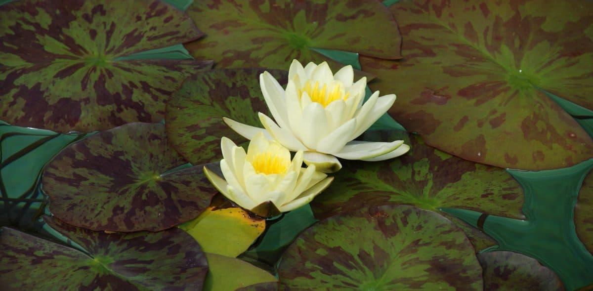 esotico, verde foglia, wildflower, loto, waterlily, natura, flora, acquatico