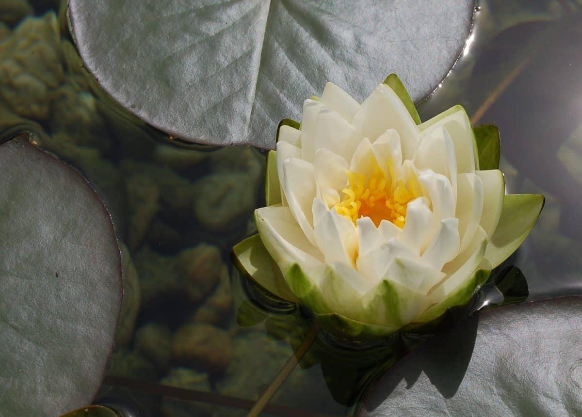 naturaleza, flor, hoja, acuático, horticultura, planta, flor, loto
