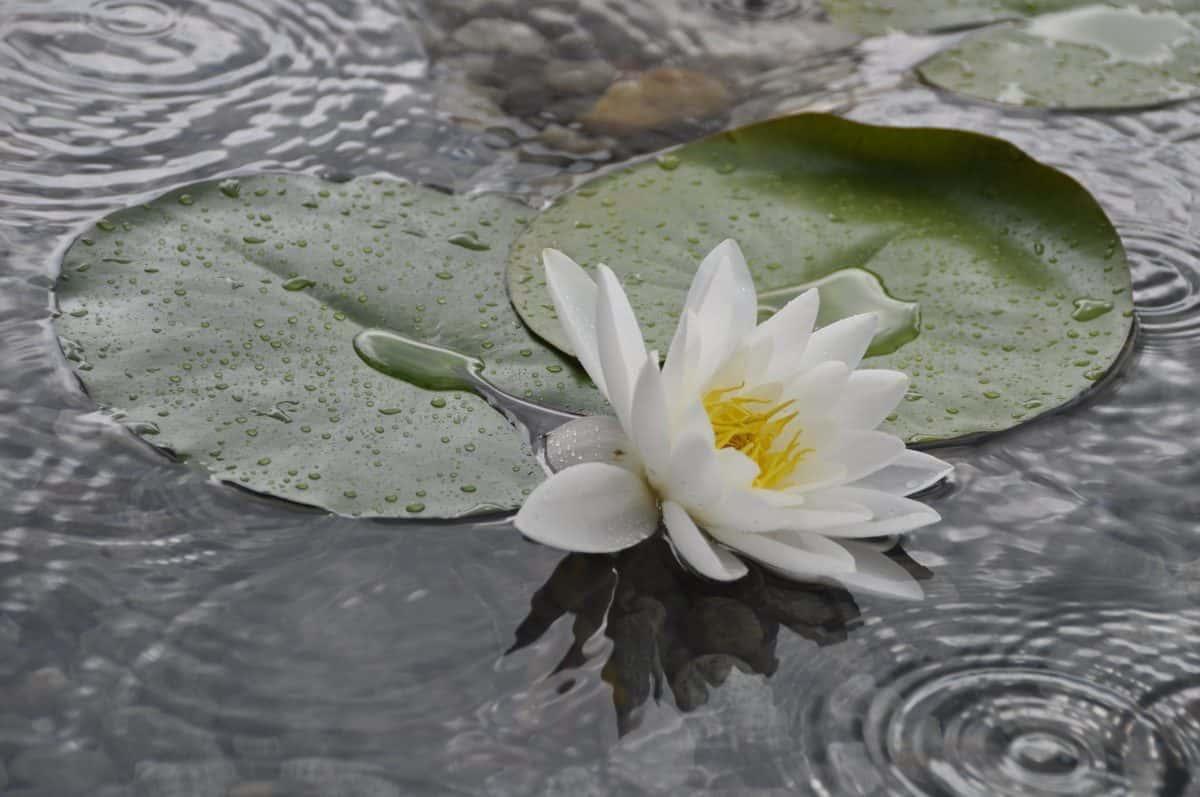 eau, fleurs sauvages, nature, feuilles, aquatique, fleur, horticulture, jardin