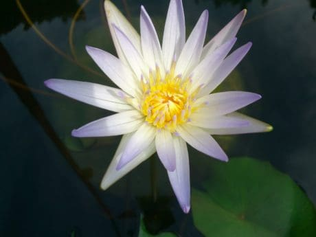 flora, nature, lotus, green leaf, wildflower, aquatic, plant, blossom