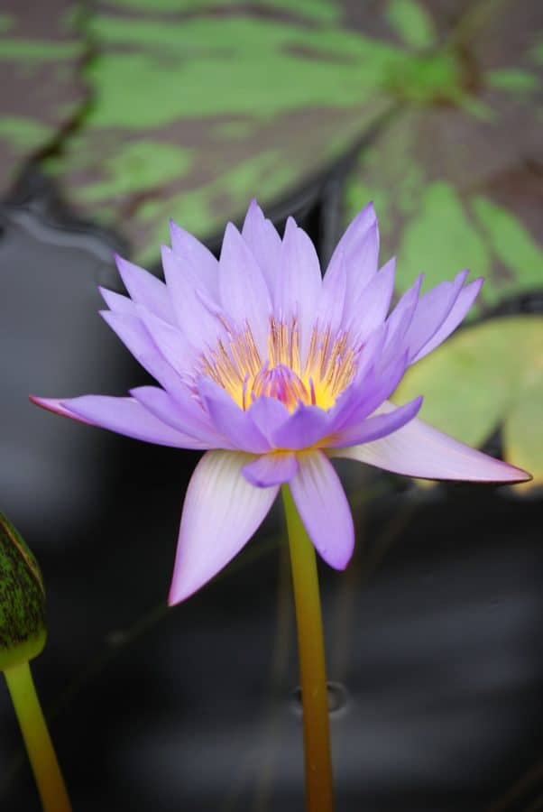 Lotus, Seerose, Flora, Garten, Gartenbau, Wildblumen, Natur, Blatt