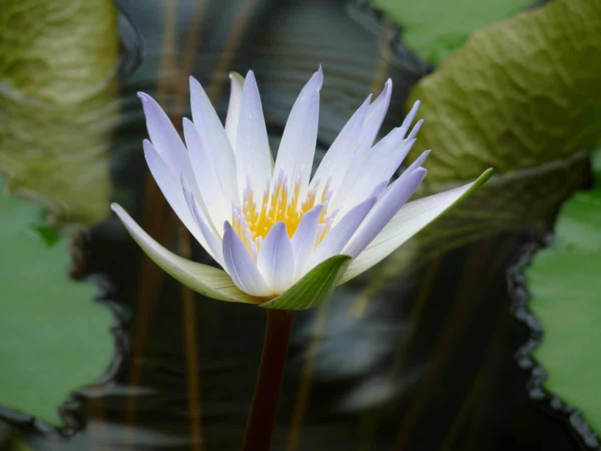 nature, flower, flora, horticulture, leaf, lotus, aquatic, blossom