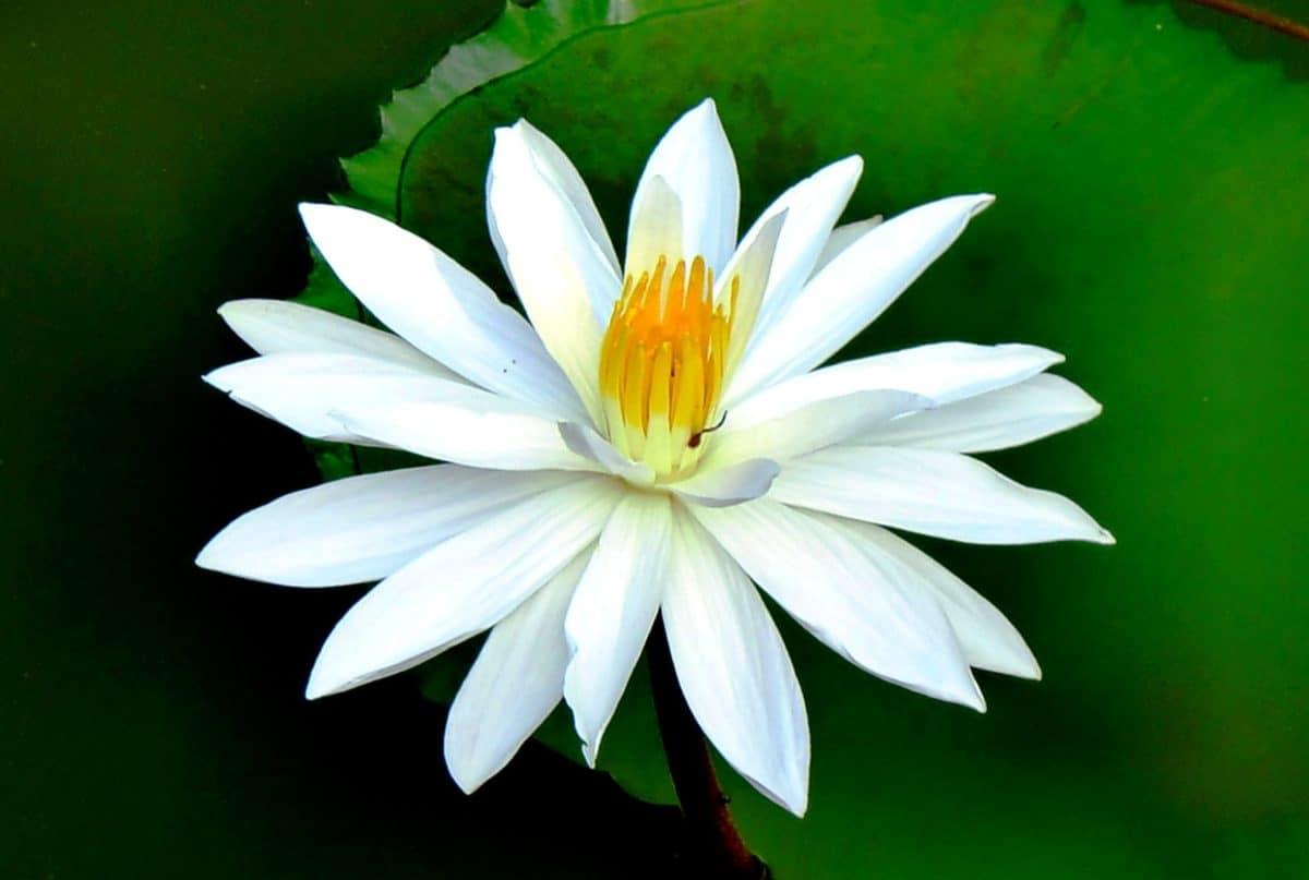 green leaf, lotus, nature, flora, flower, blossom, plant, horticulture